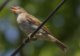 Hot sparrow