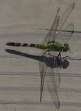 The flashy dragonfly