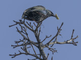 Starling grabs a bite