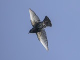 Starling takes off