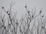 'Where have all the starlings gone…'