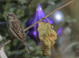 The Christmas sparrow