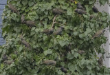 The starling tree