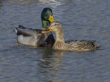 Mallard romance (1): Couple portrait