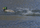 Mallard romance (3): Mr. Mallard hits the road
