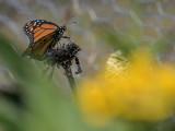 Summer monarch