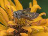 Skipper in a yellow flower