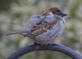 Puffed up sparrow