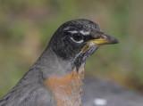 The unperturbed robin