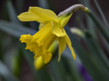First daffodil (of winter!)