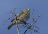 Sparrow in the sun