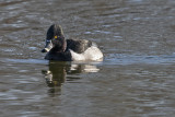 Salvaged ring-necked duck