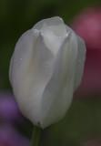 The surprise tulip