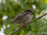 Finally, a sparrow in a tree!
