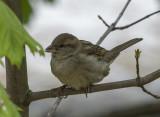 Next door sparrow
