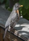 The contemplative robin