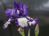 An iris not quite too far