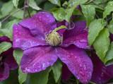 Rainy day clematis
