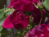 Rose among roses