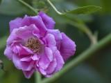 Odd rose out