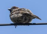 Sparrow eye