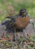 The pensive robin