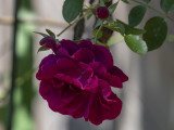 The graceful rose