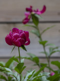 Three stages of a peony