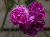 Three shades of rose
