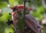 Intricacies of a cardinal's head