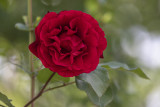 The very red rose