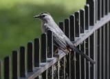 Catbird on a hot iron fence