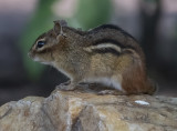 Chipmunk and a few hitchhikers