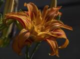 Carport daylily