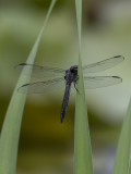 The shy dragonfly