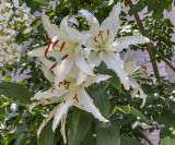 Lily explosion