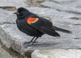 Blackbird that loved the camera