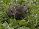 Face to face with a juvenile starling
