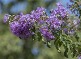 A most unusual crape myrtle