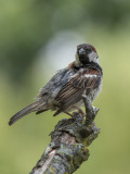 The posing sparrow