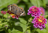 Lantana-loving butterfly