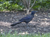 The Fed grackle
