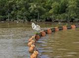 Egret celebrating his catch