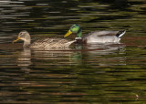 The Mallards out for a 'stroll'