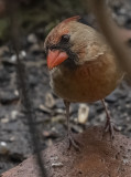 The inquisitive cardinal
