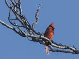 The talkative Mr. Cardinal