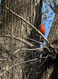 Mr. Cardinal and the iPhone