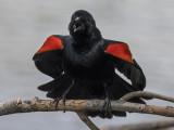 The fearless blackbird