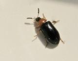 Svampbaggar - Endomychidae