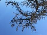 Old pine.JPG